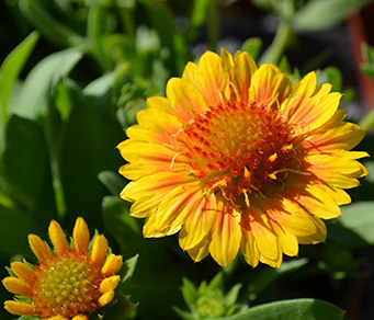 Gaillardia-gallo-peach-Vivaces-Accueil