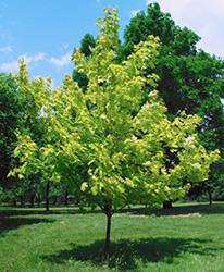 Acer platanoides princeton gold 72d5p 030606ka030 300d4p for Arbres pour petits jardins