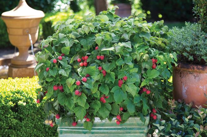 framboisier 39 raspberry shortcake 39 botanix. Black Bedroom Furniture Sets. Home Design Ideas