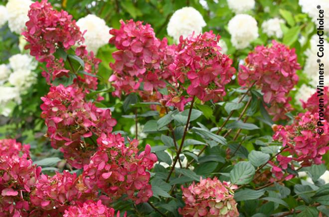 Hydrang e 39 fire light 39 - Arbuste fleur rose ...