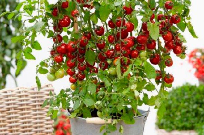Tomate cerise 39 tutti frutti 39 - Plant de tomate cerise ...