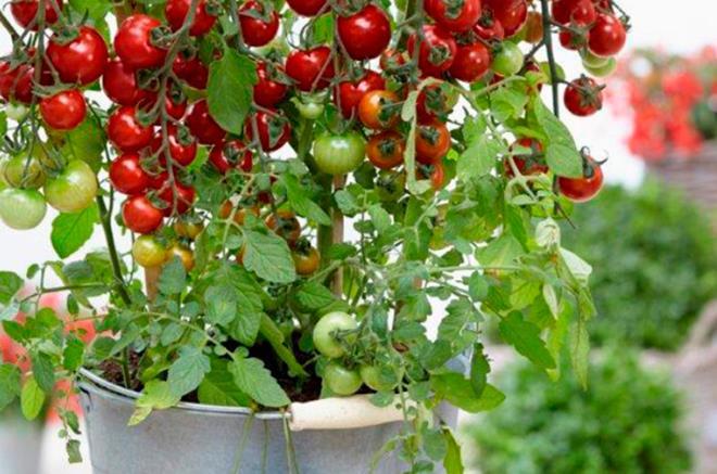 tutti frutti tomatoe botanix. Black Bedroom Furniture Sets. Home Design Ideas