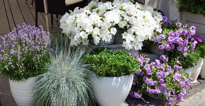 Planter des annuelles en contenants botanix - Fleurs d ete plein soleil ...