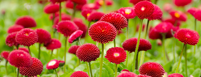 Bellis perennis for Entretien plantes vivaces