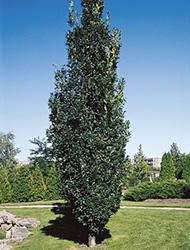 Quercusrobur fastigiata 72d6p 98965151bx for Arbre d ombrage croissance rapide