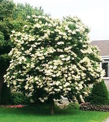 Syringa reticulata Ivory Silk 72d5p01