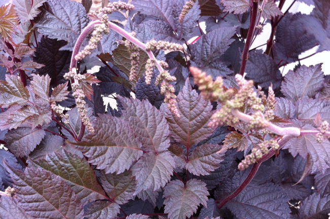 Astilbe 'Chocolate Shogun'