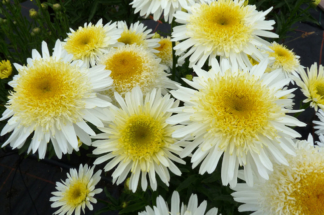 Marguerite 'Real Glory'