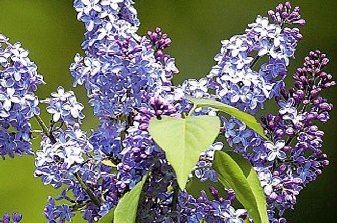 Arbuste Lilas Firmament Bleu|Centre Jardin BOTANIX