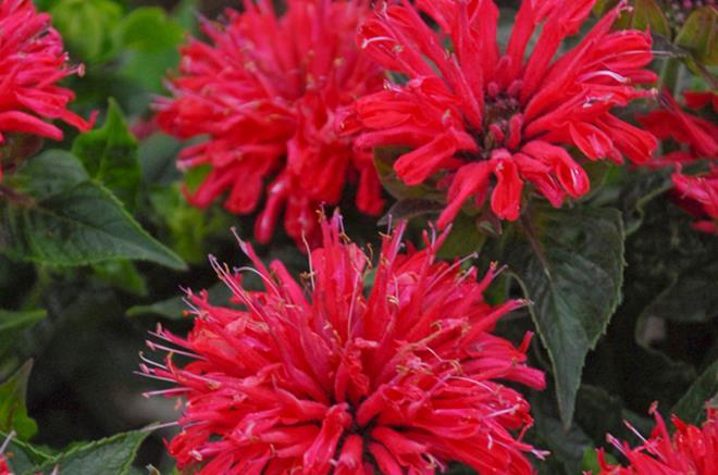 Monarde 39 pardon my cerise 39 for Plante exterieur fleur rouge