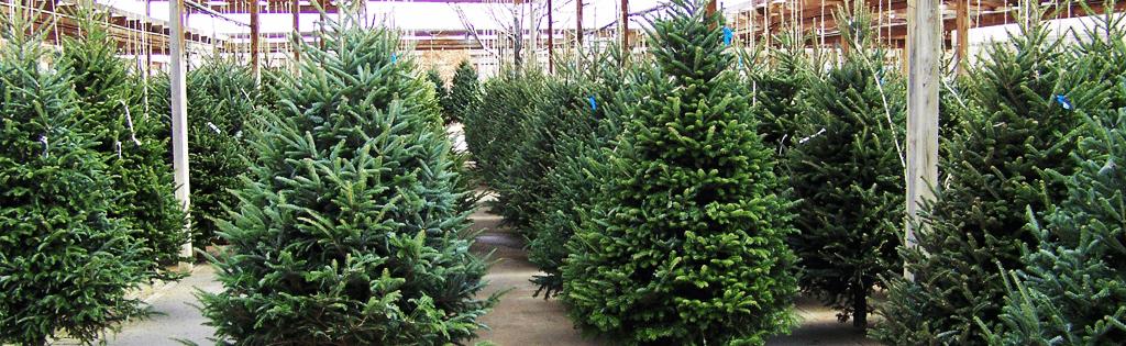Choisir Un Sapin De Noël Naturel Et Entretenir Larbre