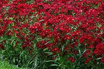 Oeillet 'Rockin Red' / Sweet William