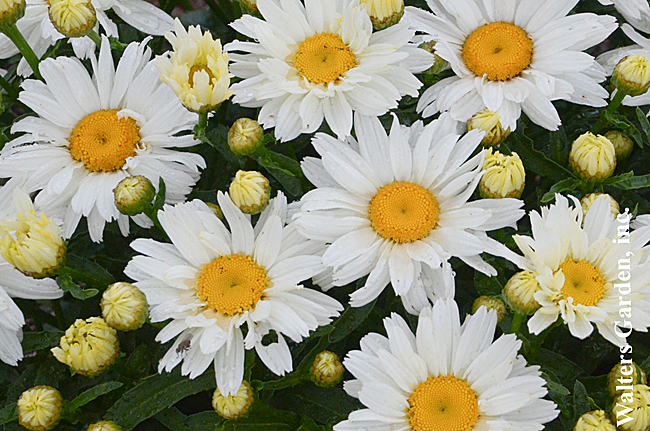Marguerite 'Cream Puff'