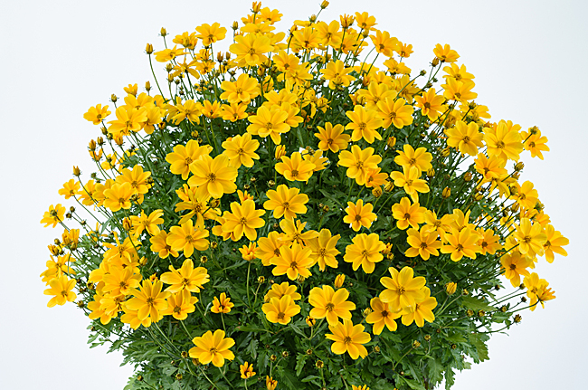 Bidens Golden Empire