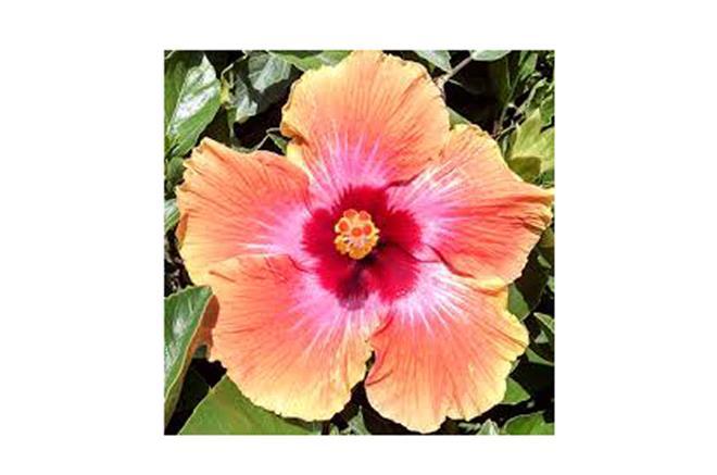 Hibiscus Fiesta Botanix