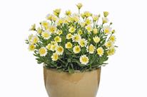 Marguerite du Cap 'Bright Lights Double Moonglow'