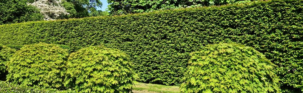 Plant cedars for the ultimate hedge around your house