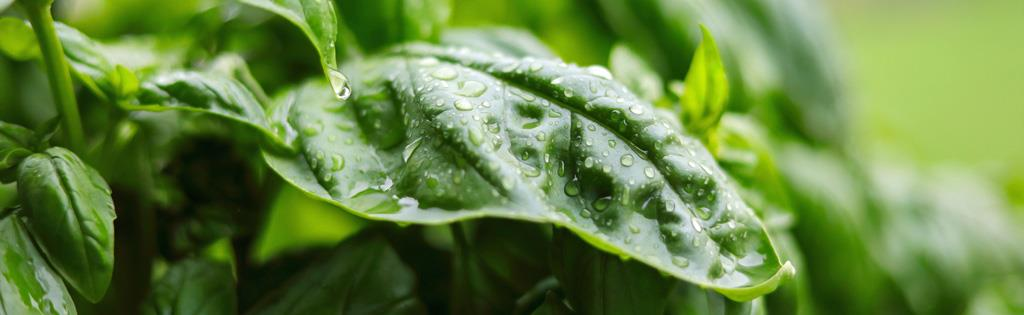 Basil plants: disease, insect control and general care