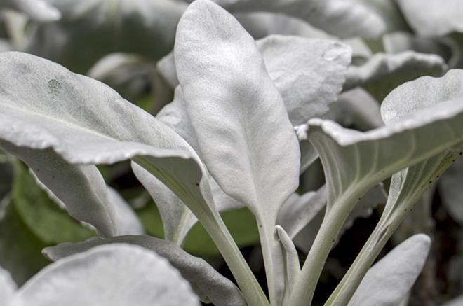 Senecio Or Groudsel Angel Wings