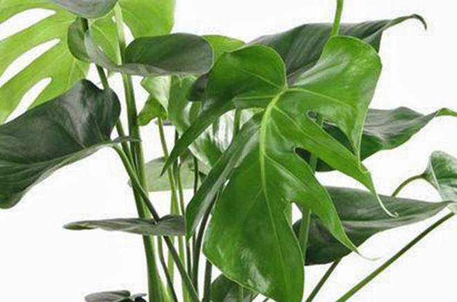 Philodendron 'Fromage Suisse' (Monstera)