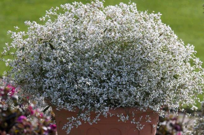 Euphorbia Starblast White Botanix Garden Centre
