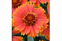 Gaillarde 'Spintop Yellow Touch'