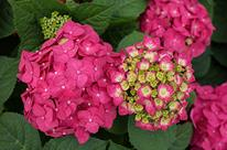 Hortensia 'Summer Crush'