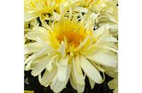 Marguerite 'Realflor Real Charmer'