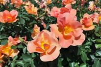 Rosier 'Chinook Sunrise'