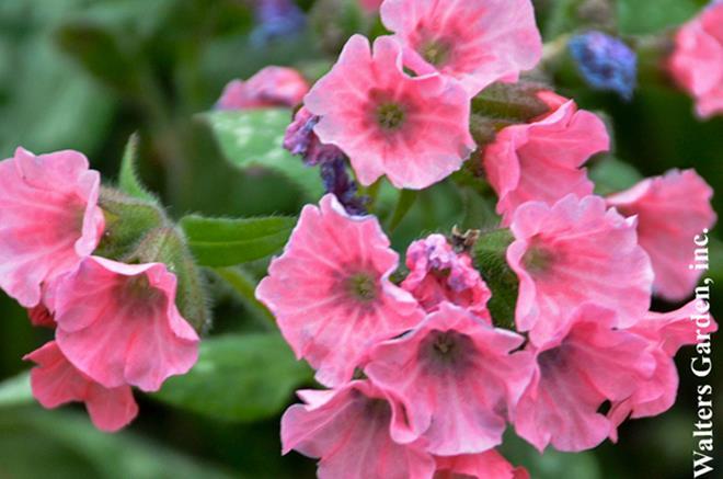 Vivace Pulmonaire Pretty in Pink | Centre Jardin BOTANIX