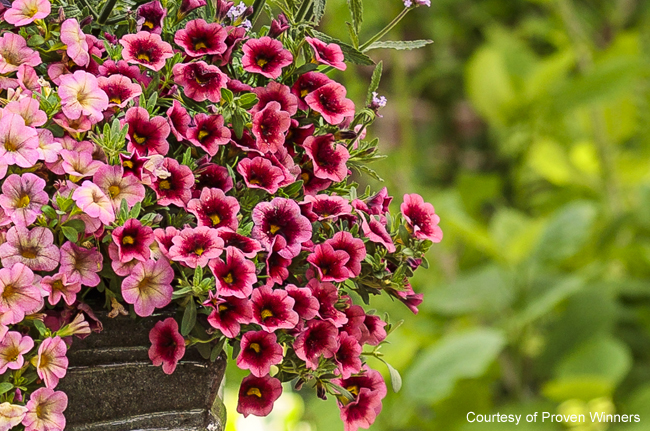 Calibrachoa Superbells 'Watermelon Punch'
