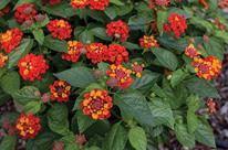 Lantana 'Hot Blooded Red'