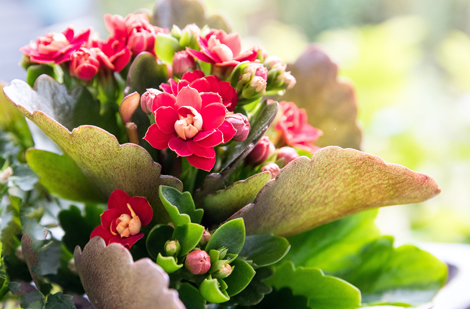 mini-flaming-kalanchoe-plante-interieur-fleur