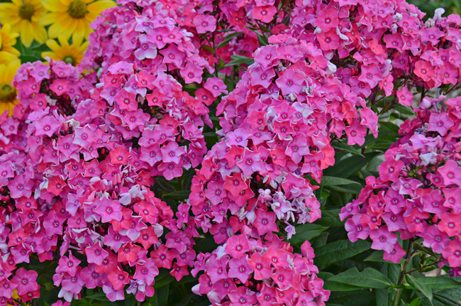 Phlox glamour girl plante vivace fleur for Plantes a fleurs vivaces