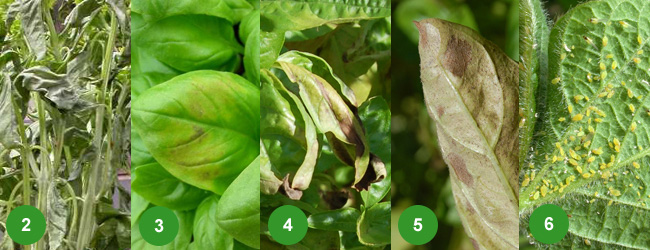 Basil plants: disease and insect control and general care