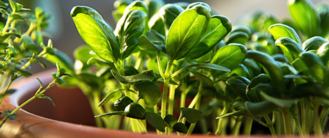 Basil: Wonder Herb!