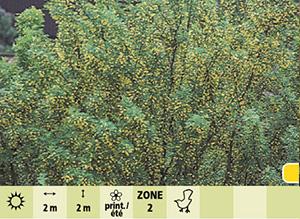 Caragana arborescens