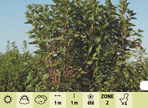Physocarpe feuilles obier nain